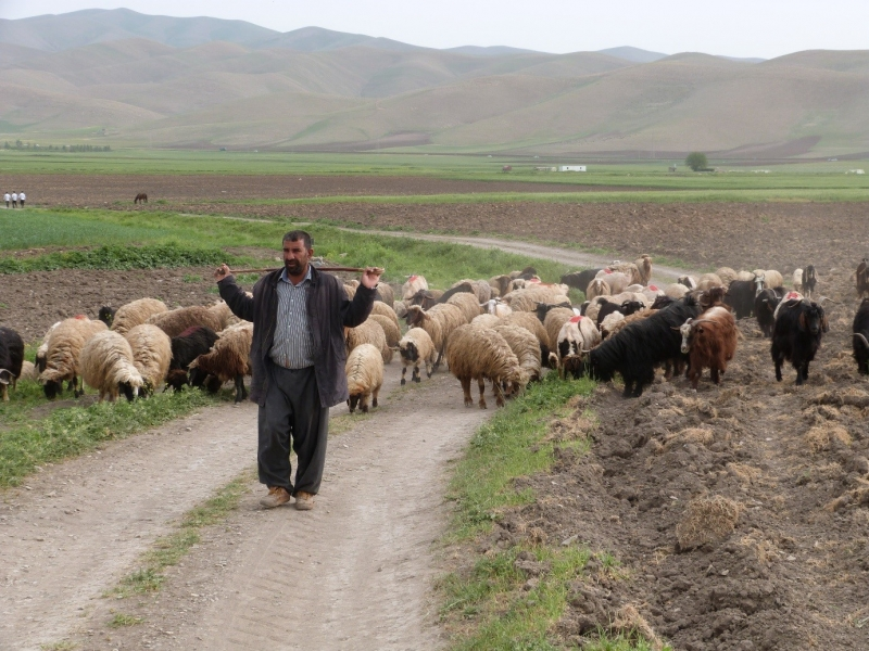 Sheep and goat herding in the Zagros foothills, Iraq