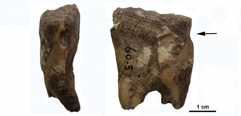 Bit wear on a horse tooth from Newgrange, Ireland